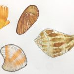 Pen & water drawings of shells found on the beach at Playa del Carmen | A Life More Beautiful